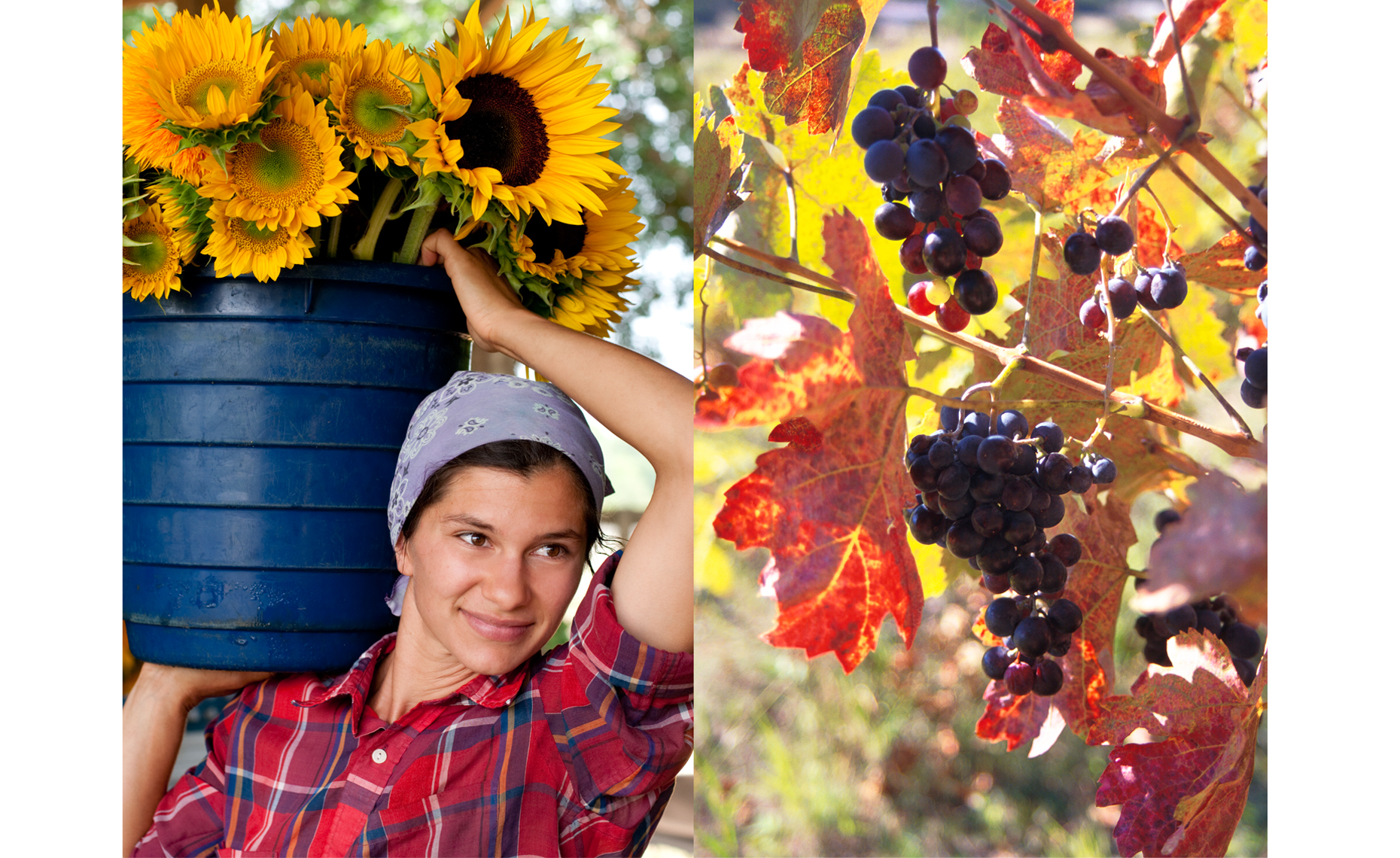 sunflower_maiden_grapes.jpg